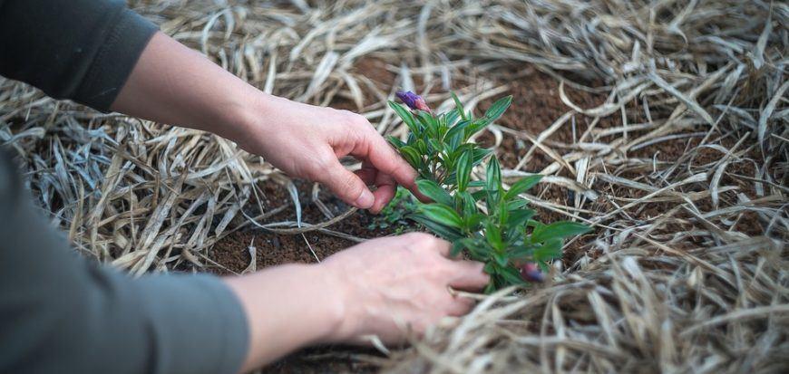 Hands planting a shrub